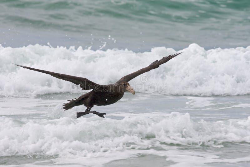 sydlig strandpetrel royaltyfri fotografi