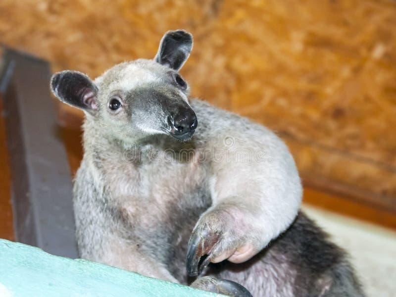 Sydlig tamandua (den Tamandua tetradactylaen) arkivfoto