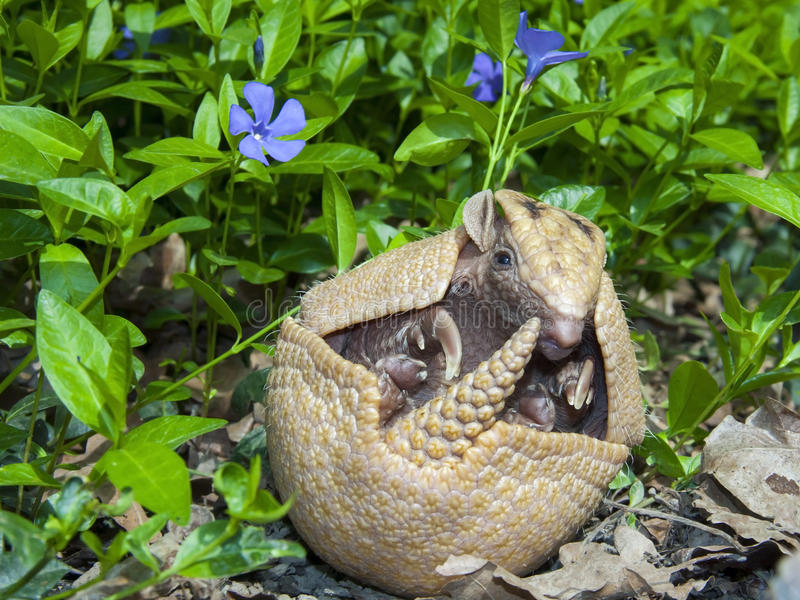 Sydlig tre-satt band bältdjur (Tolypeutesmatacusen) royaltyfri foto