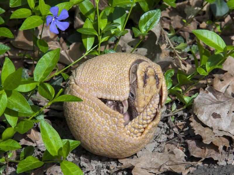 Sydlig tre-satt band bältdjur (Tolypeutesmatacusen) fotografering för bildbyråer