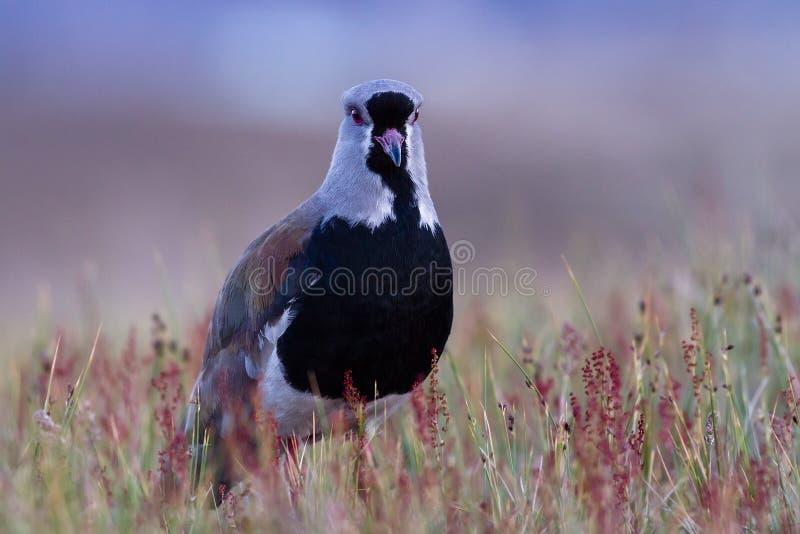Sydlig vipa av patagonia royaltyfria bilder