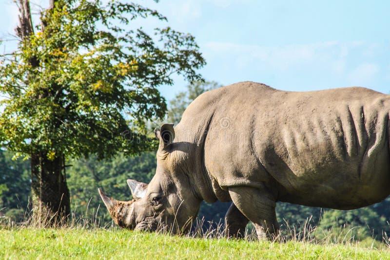 Sydlig vit noshörning fotografering för bildbyråer