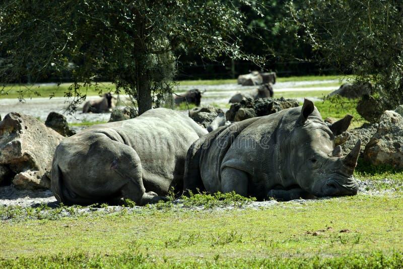 Sydlig vit noshörning (Ceratotheriumsimumsimumen) royaltyfri bild