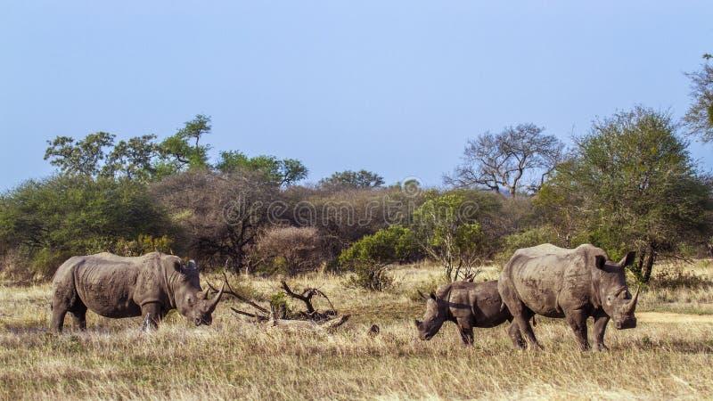 Sydlig vit noshörning i den Kruger nationalparken, Sydafrika royaltyfri fotografi