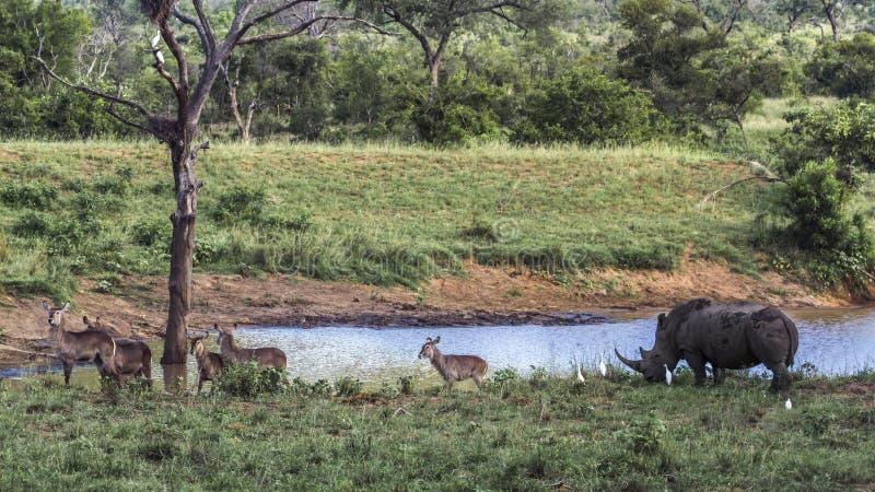 Sydlig vit nosh?rning i den Kruger nationalparken, Sydafrika fotografering för bildbyråer