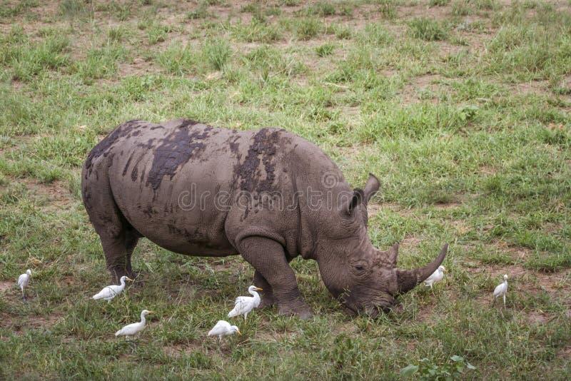Sydlig vit nosh?rning i den Kruger nationalparken, Sydafrika royaltyfri foto