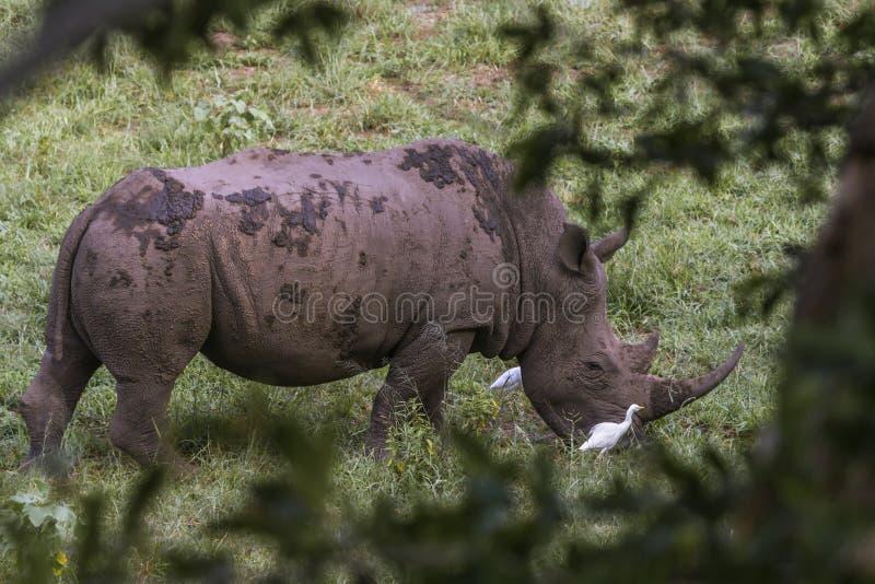 Sydlig vit nosh?rning i den Kruger nationalparken, Sydafrika royaltyfria bilder