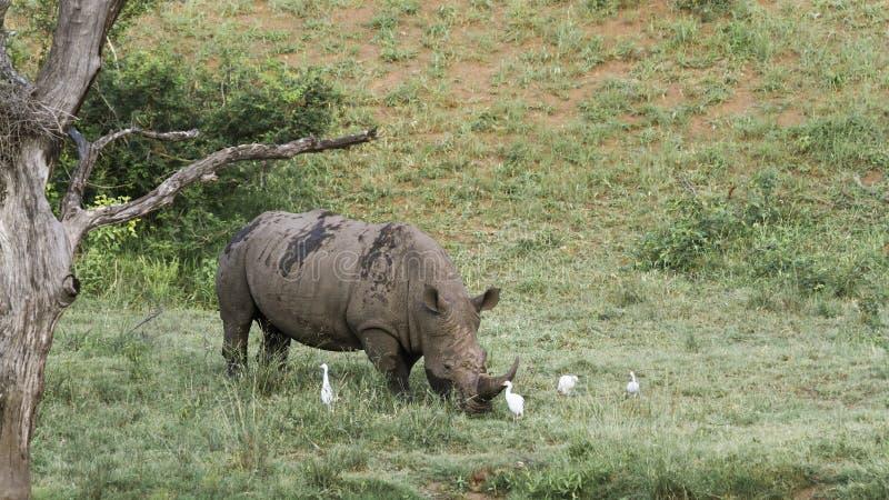 Sydlig vit nosh?rning i den Kruger nationalparken, Sydafrika arkivbild