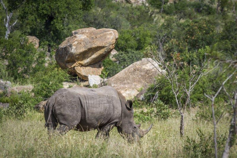 Sydlig vit nosh?rning i den Kruger nationalparken, Sydafrika royaltyfria foton