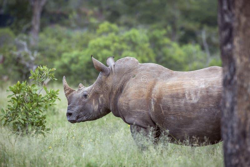 Sydlig vit nosh?rning i den Kruger nationalparken, Sydafrika royaltyfri fotografi