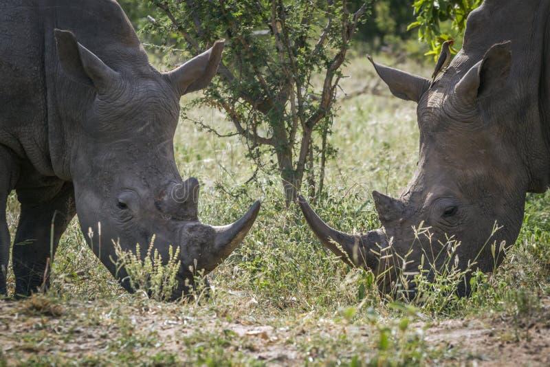 Sydlig vit nosh?rning i den Kruger nationalparken, Sydafrika arkivfoton