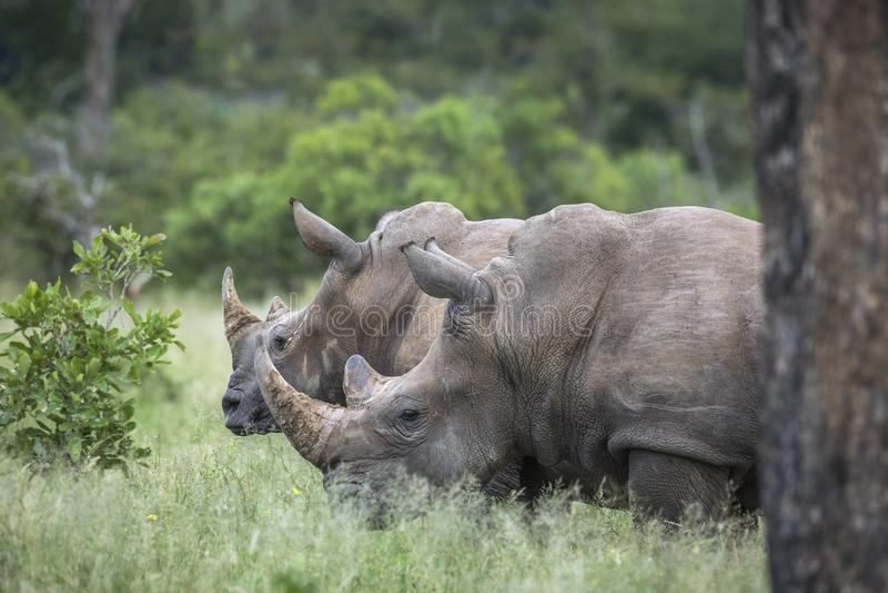 Sydlig vit nosh?rning i den Kruger nationalparken, Sydafrika arkivfoto