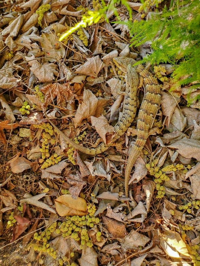 Sydliga alligatorödlor som slåss eller parar ihop den Elgaria multicarinataen i en trädgård i torra sidor royaltyfri foto