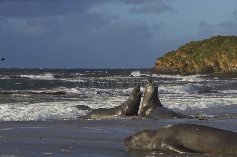 Sydliga elefantskyddsremsor - Falkland Islands royaltyfria foton
