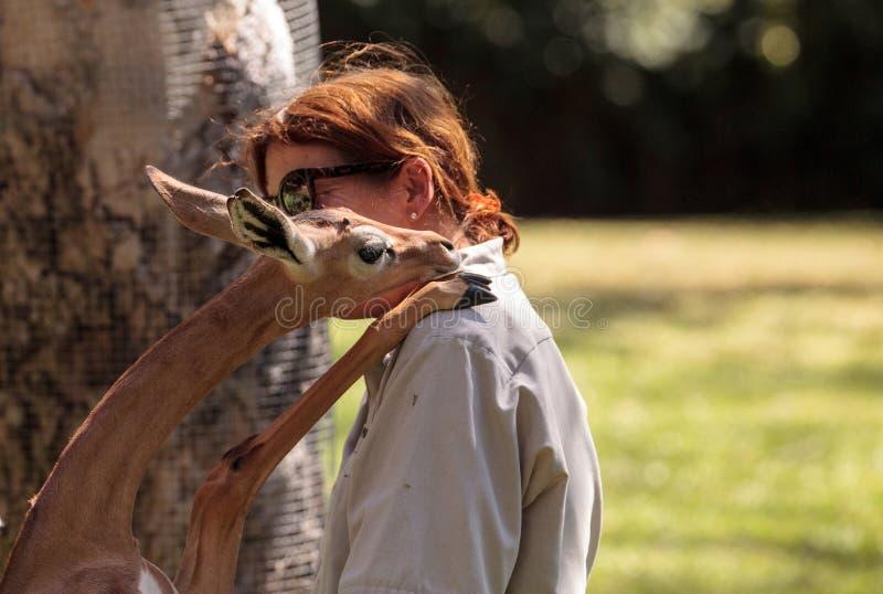 Sydliga Gerenuk ger en medlem av Sanen som Diego Zoo Safari parkerar arkivbild