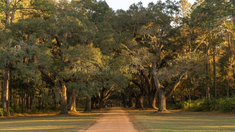 Sydliga Live Oaks royaltyfri fotografi
