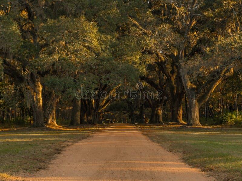 Sydliga Live Oaks arkivbilder