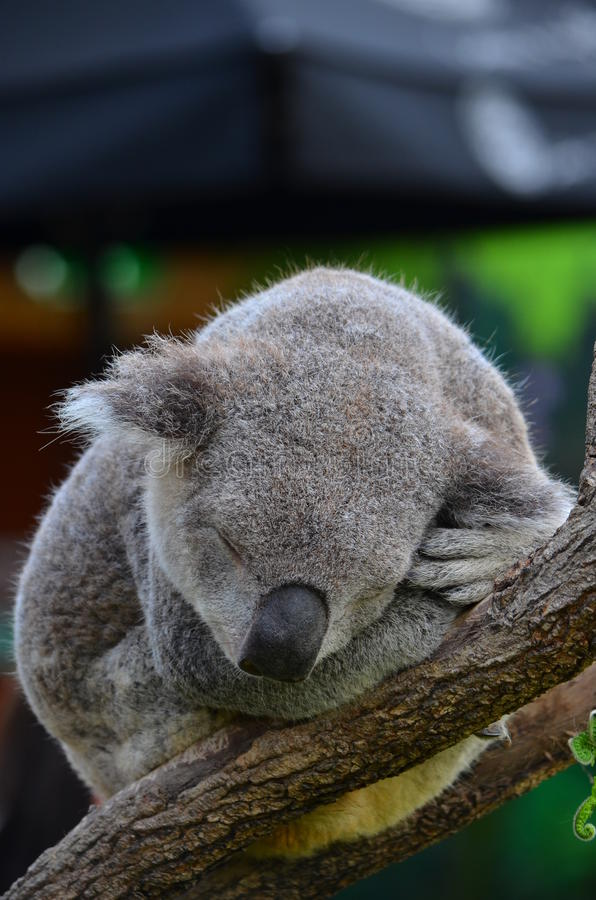Sydney Aquarium et la vie sauvage - koala 2 images stock