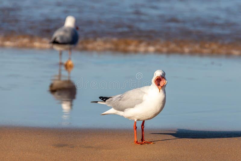 Sydney (Australie) - Silver Gull Chroicocephalus novaehollandiae avec Mouth Wide Open sur une plage de Sydney image stock