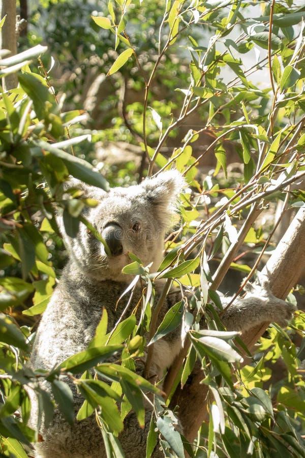 Sydney, NSW/Australia: Coala que dorme em sua árvore de eucalipto fotografia de stock royalty free
