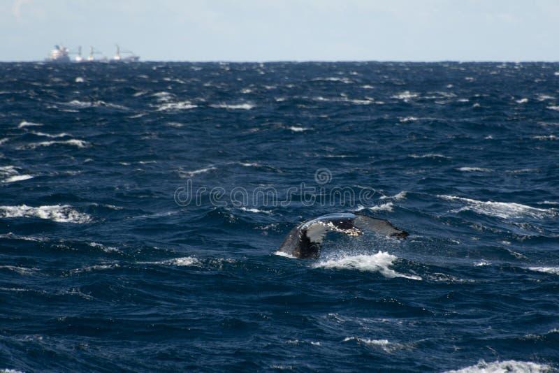 Sydney, NSW/Australia: Wieloryby Ogląda w Australijskim oceanie zdjęcie stock