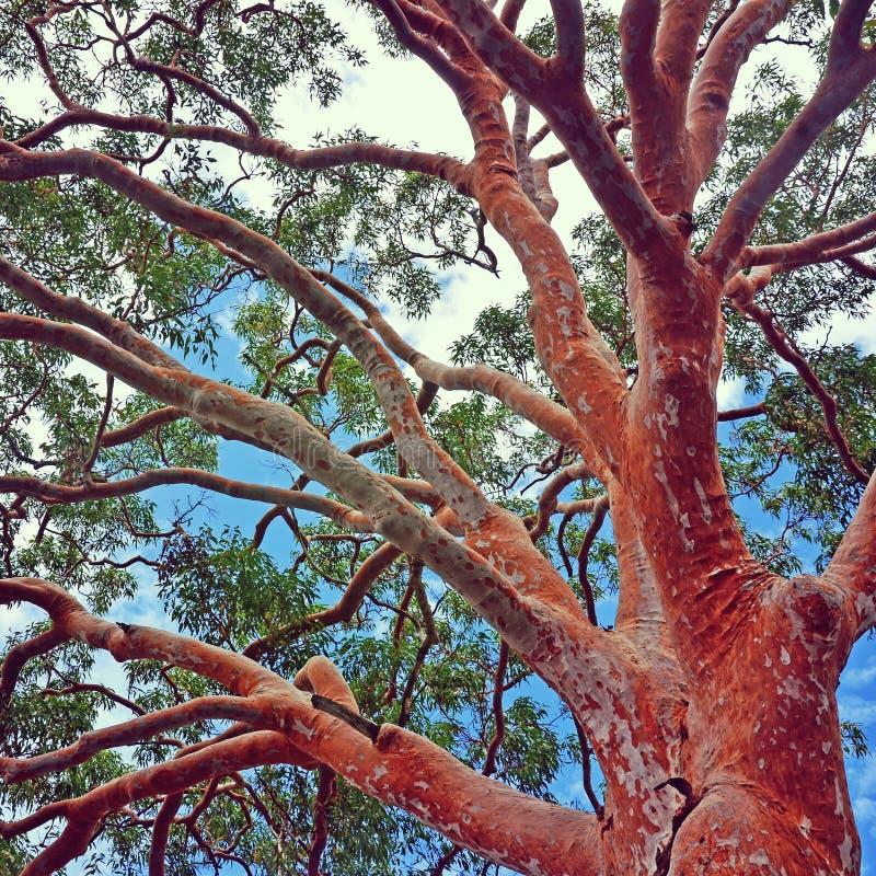 Sydney Red Gum-Baum Angophora-costata lizenzfreies stockfoto