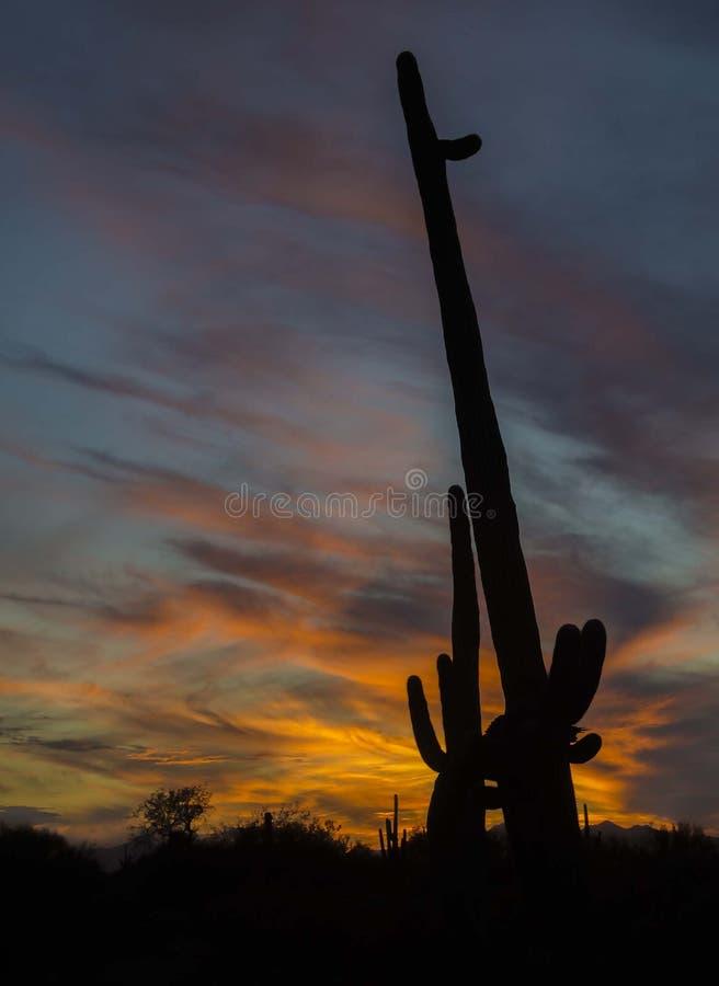 Sydvästliga skuggor för kaktus för ökensolnedgångsaguaro royaltyfri fotografi