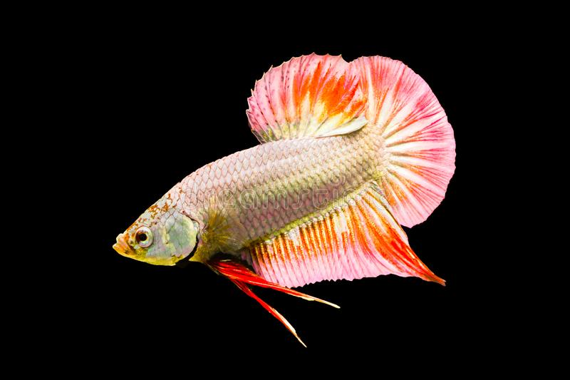 Syjamska bój ryba, Betta splendens, Tajlandia zdjęcia royalty free