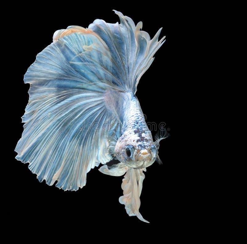 Syjamska bój ryba walki błękita ryba, Betta splendens, Betta ryba, Halfmoon Betta zdjęcie royalty free