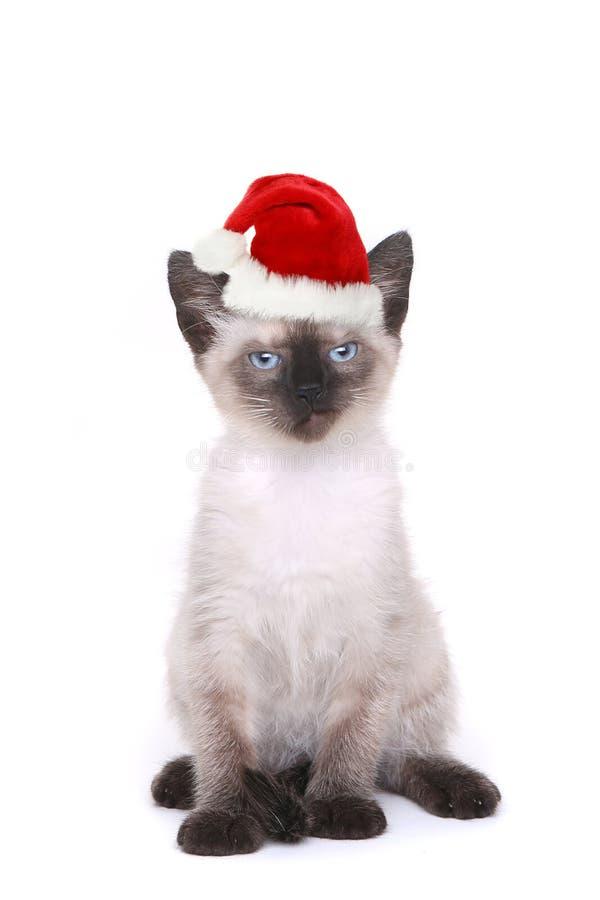 Syjamska figlarka na bielu Z Santa kapeluszem zdjęcia stock