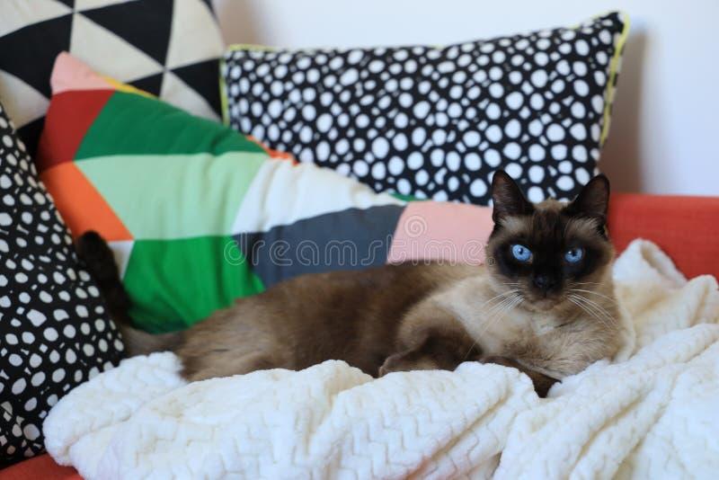 Syjamski cat& x27; s patrzeje kamerę zdjęcie stock