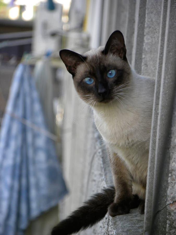 Syjamski kot patrzeje kamerę zdjęcia royalty free