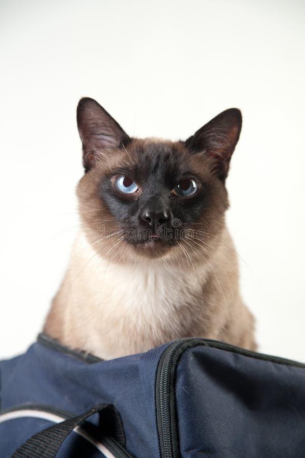 Syjamski kot patrzeje kamer? zdjęcia royalty free