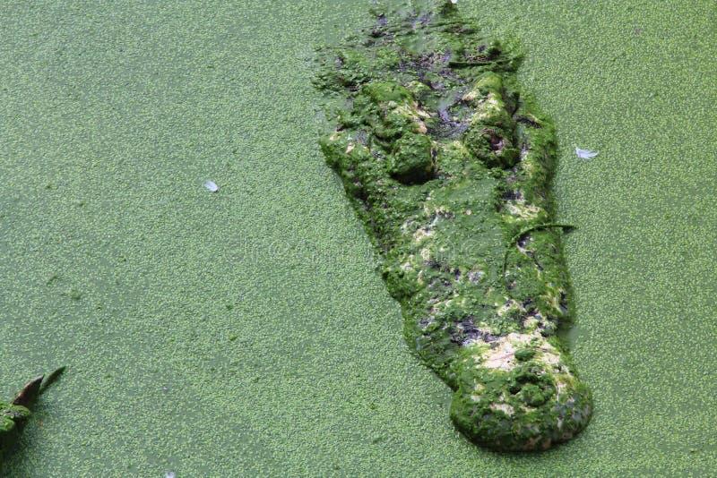 Syjamski krokodyl zdjęcia stock