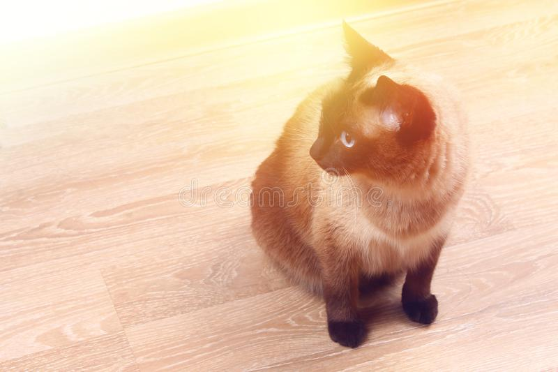 Syjamski lub Tajlandzki kot siedzi na podłoga Kot obezwładniają Trzy łapy, żadny kończyna obraz stock