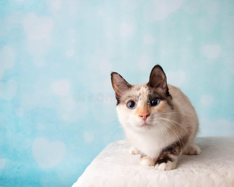 Syjamski mieszanka kot w Pracownianym portrecie fotografia stock