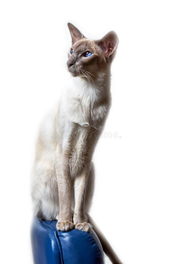 Syjamski orientalny kota obsiadanie na krześle obrazy royalty free