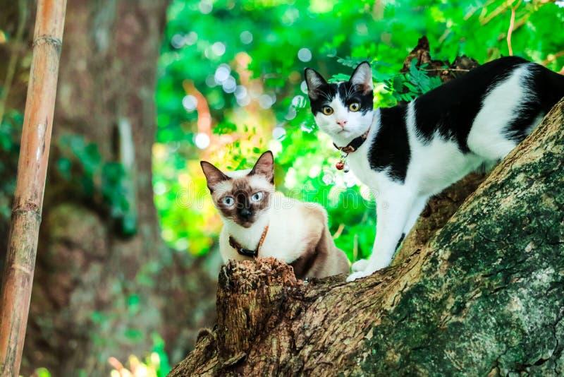 Syjamskich kotów wspinaczki drzewa łapać wiewiórki Ale ja no może wspinać się puszek zdjęcia royalty free