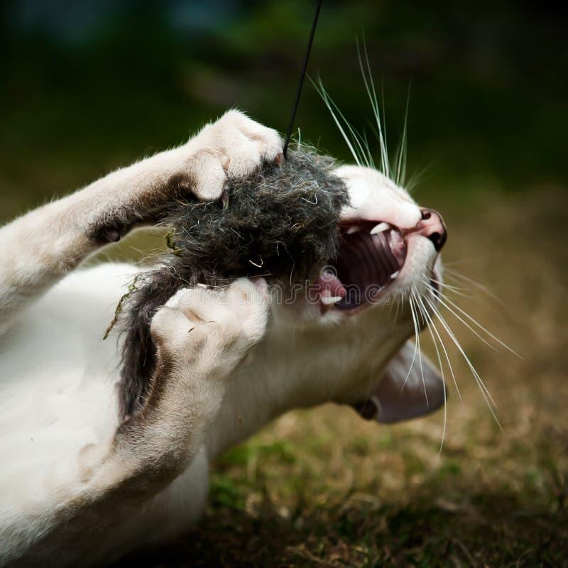 Syjamskiego kota łapania zabawka zdjęcie royalty free