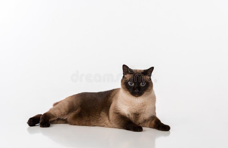 Syjamskiego kota lying on the beach na białym biurku Biały tło Patrzeć w kamerę zdjęcie royalty free