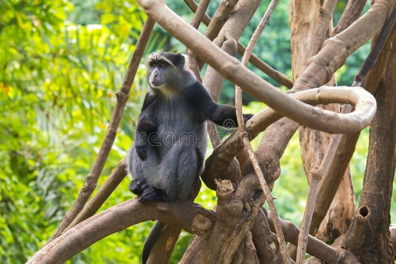 Sykes的猴子白色红喉刺莺的猴子,Samango猴子坐分支在曼亚拉区,坦桑尼亚,非洲 免版税库存照片