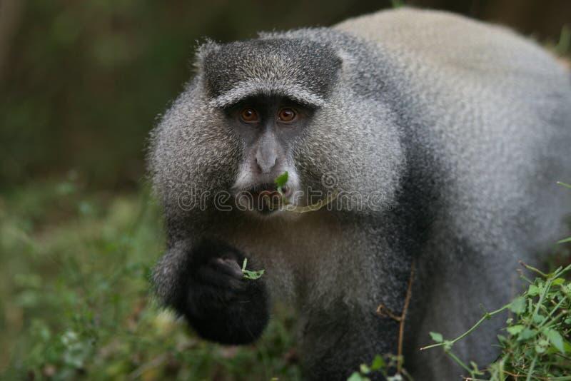 Sykes的猴子(长尾猴属albogularis)在南非 免版税图库摄影
