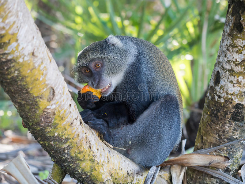 Sykes的猴子 免版税库存照片