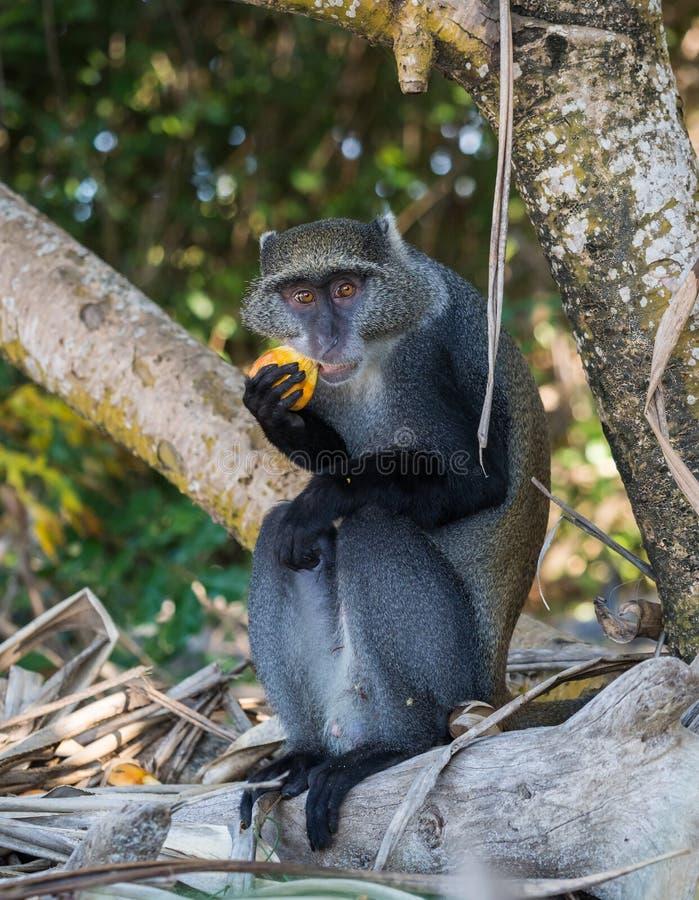 Sykes的猴子 免版税图库摄影