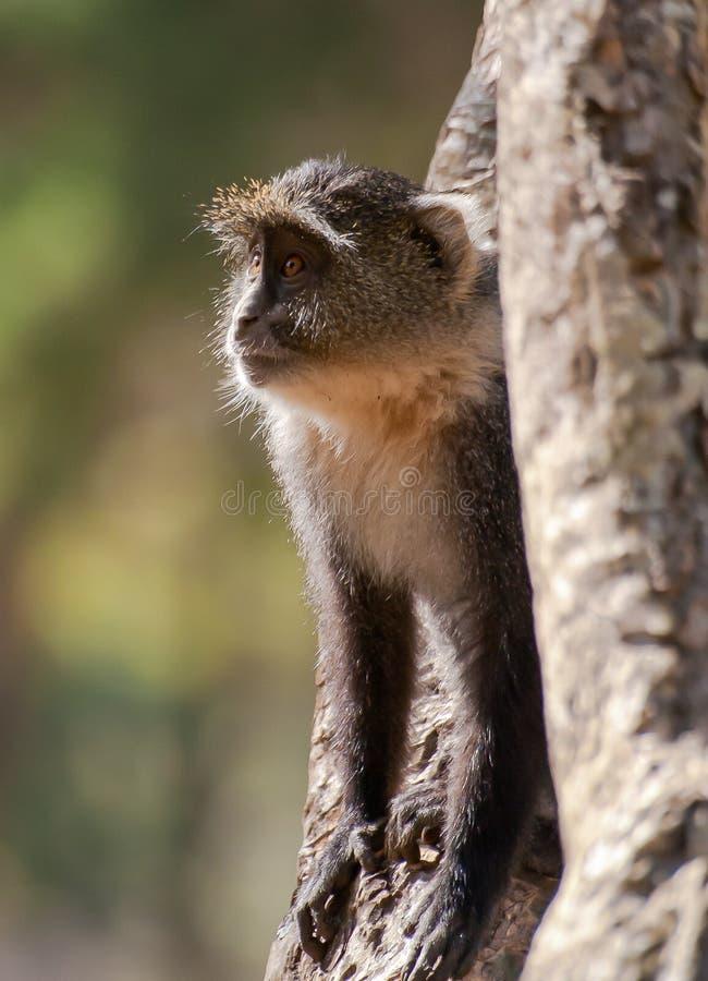 Sykes Monkey fotos de archivo libres de regalías