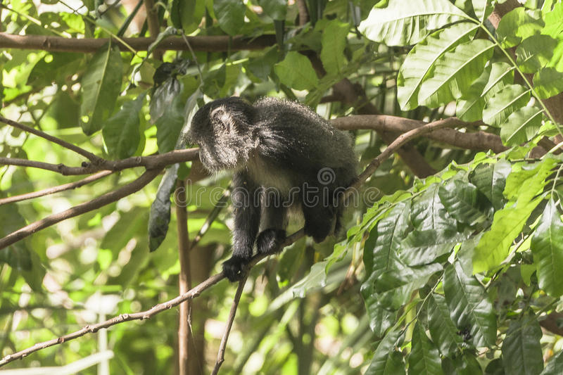Sykes` monkey in Tanzania stock images
