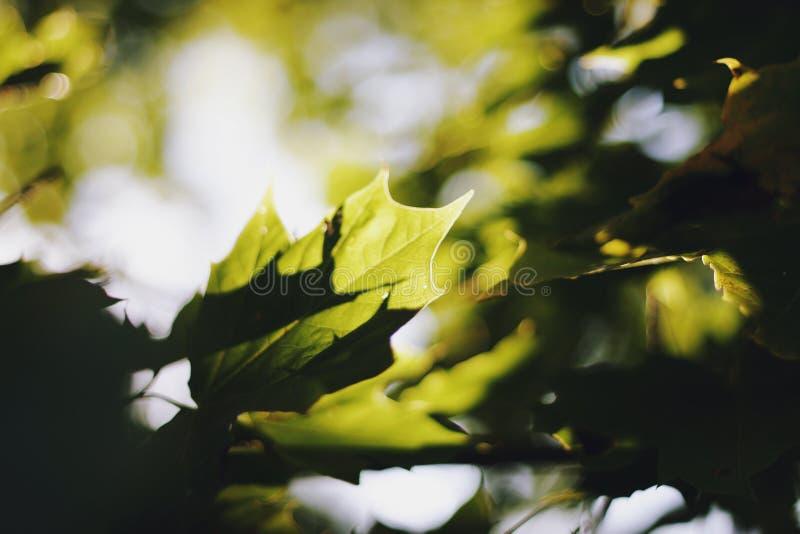 Sykomorträdet lämnar i solstrålar arkivbild