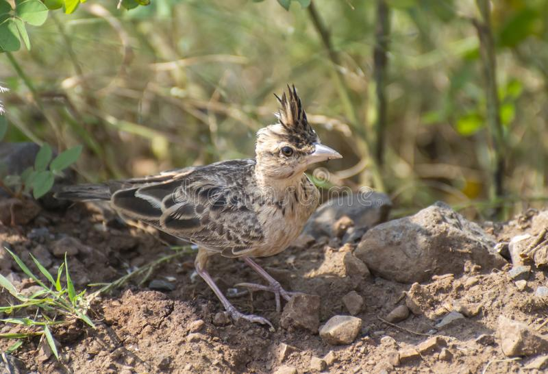 Sykses Lark with Opened Crest. Near the bushes in India royalty free stock image