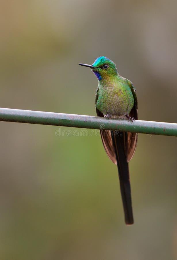 Sylph Long-tailed images libres de droits