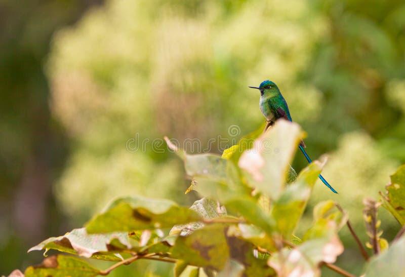 Sylph Long-tailed de repos photos libres de droits